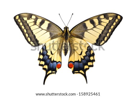 Old World Swallowtail (Papilio machaon) butterfly on a white background - stock photo