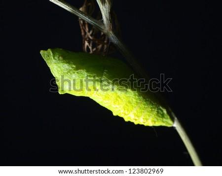 Old World Swallowtail's chrysalis - stock photo