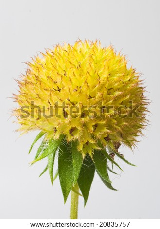 old yellow flower and seeds - stock photo