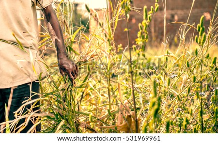 Older african farmer walking through his field showing his crop
