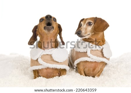 Older Dachshund Looking At Younger Dachshund On White Background    - stock photo