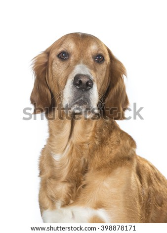 Older dog posing in a studio. The dog look like a golden retriever. - stock photo