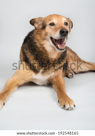 Older German Shepherd Mix Dog Laying on Gray Paper Background
