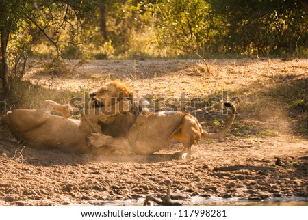 Older lion biting younger lion's leg in a fight - stock photo
