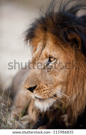Older male lion near Kruger National Park