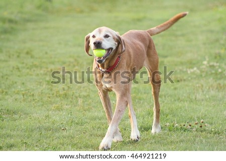 Older Mixed Breed Retriever