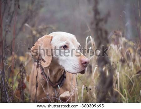older vizsla dog in nature - stock photo
