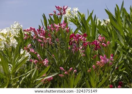 Oleander - stock photo