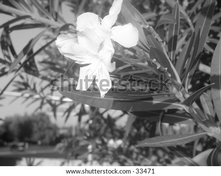 Oleander in black and white. High contrast. - stock photo