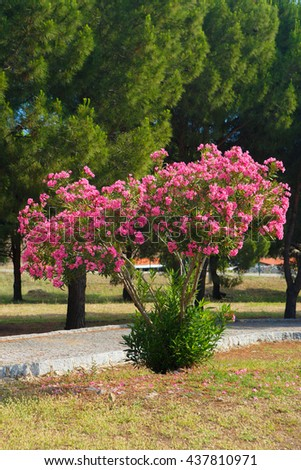 oleander in front pf the pine trees in a park