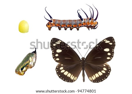 Oleander or Common Crow butterfly,  wingspan 72mm, lifecycle stages isolated on white - stock photo