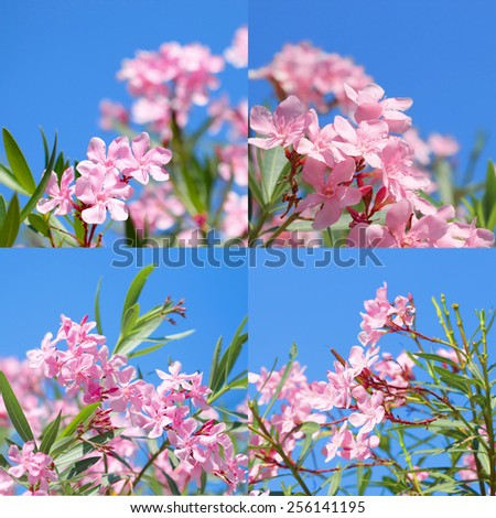 Oleander rose bay flower - stock photo