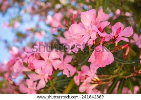 Oleander rose bay flower. Nerium oleander L. - stock photo
