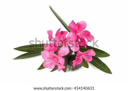 oleander sweet oleander rose bay nerium stock photo edit now