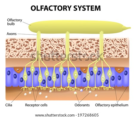 olfactory system inside the human head. the olfactory bulb at the top which connects to scent cells at the bottom to identify odors - stock photo