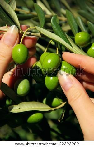 olive - stock photo