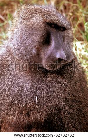 Olive baboon, Lake Nakuru, Kenya - stock photo