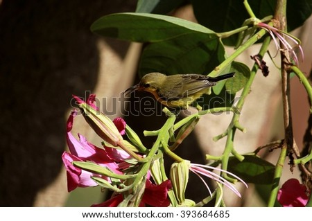Olive-backed Sunbird (Cinnyris jugularis)