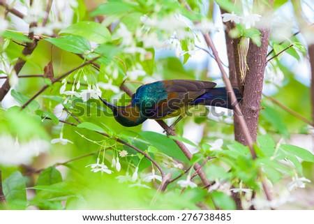 Olive-backed sunbird feeding pollen, tropical Thailand. - stock photo