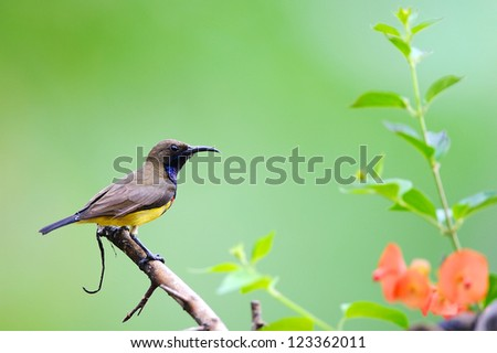 Olive-backed Sunbird On A Branch,Thailand