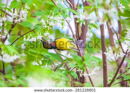 Olive-backed sunbird, Yellow-bellied sunbird. - stock photo