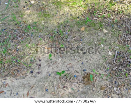 Olive berries on the ground
