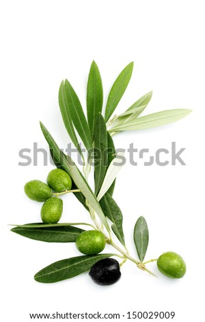 Olive branch and leaves of green olives