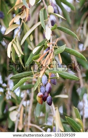 Olive branch with ripe olives - stock photo