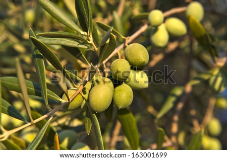 Olive branch with some unripe green olives grown in Extremadura, Spain