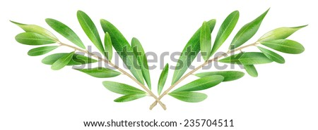 Olive branches isolated on white - stock photo