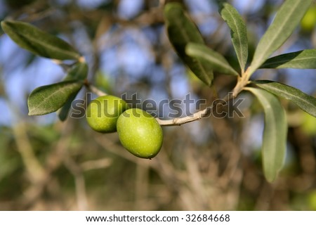 Olive field trees, branch details with olives growing