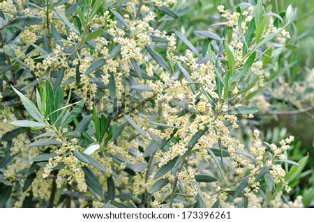 Olive Flowers - stock photo