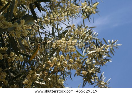 Olive flowers. Spring blossom tree branches. Olea europaea.