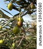 Olive fruits on the tree - stock photo