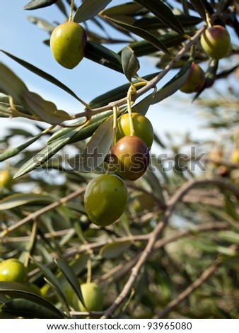 Olive fruits on the tree