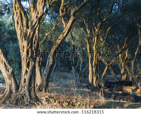 olive grove - stock photo