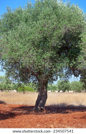 Olive grove in Salento with typical red soil. - stock photo