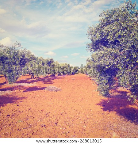 Olive Grove in Spain, Instagram Effect - stock photo