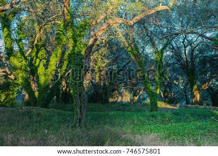 Olive grove in sunlight. Corfu island, Greece.