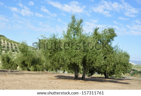 olive groves in Jaen, andalucia - stock photo