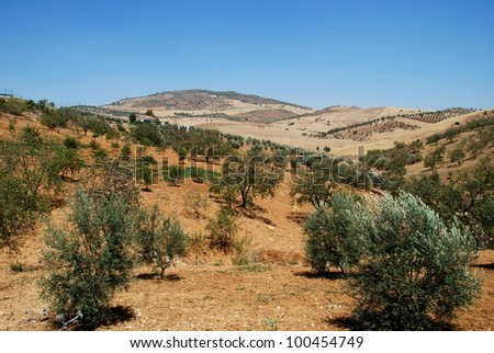 Olive groves with wheat fields to rear, Between Antequera and Alora, Costa del Sol, Malaga Province, Andalusia, Spain, Western Europe. - stock photo
