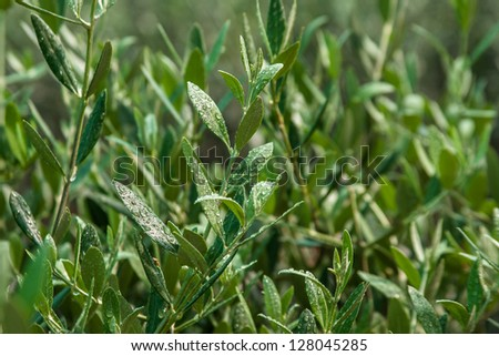 Olive leaf - stock photo