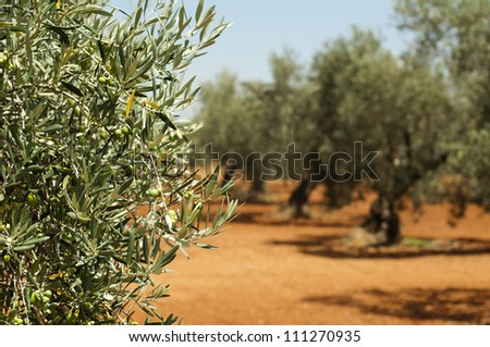Olive plantation and olives on branch. Foreground - stock photo