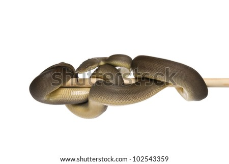 Olive python - Liasis olivaceus suspended infront of a white background. - stock photo