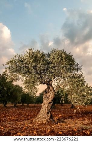 Olive Tree - stock photo
