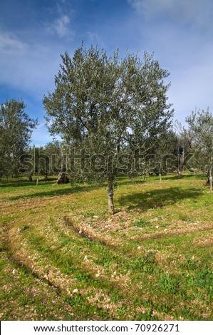 Olive-tree. - stock photo