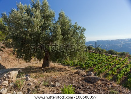 Olive tree against calabrian hills with vineyards under blue sky