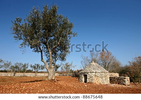 Olive tree and the Istrian shelter kazun - stock photo