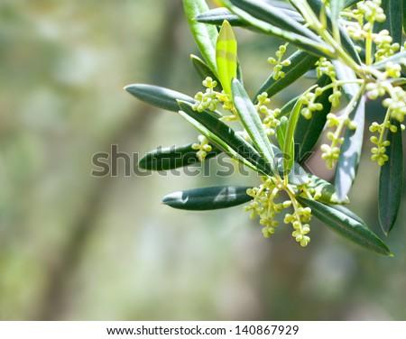 Olive tree blossom - stock photo