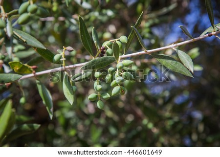 olive tree branch - stock photo
